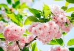 Mural Ref 00133 Sakura Blossom