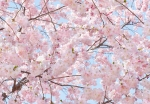 Mural Ref 00155 Pink Blossoms