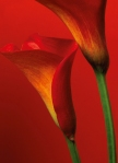 Mural Ref 00406 Red Calla Lilies